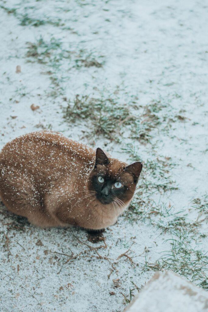 snow, portrait, photography, cat